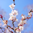 Blooming cherry tree branches — Stock Photo