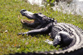Aggressive alligator — Stock Photo