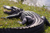 Alligator in Everglades park — Foto de Stock