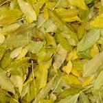 Fallen green leaves — Stock Photo