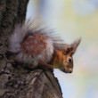 Squirrel on a tree — Stock fotografie