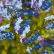 Blossoming forget-me-not — Stock Photo