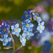 Forget-me-not close up — Stock Photo