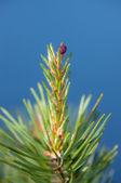Pine branch on a blue background — Stockfoto