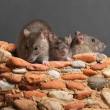 Stock Photo: Three rats