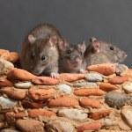 Three rats — Stock Photo #12628212