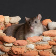 Domestic rat in fortress — Stock Photo