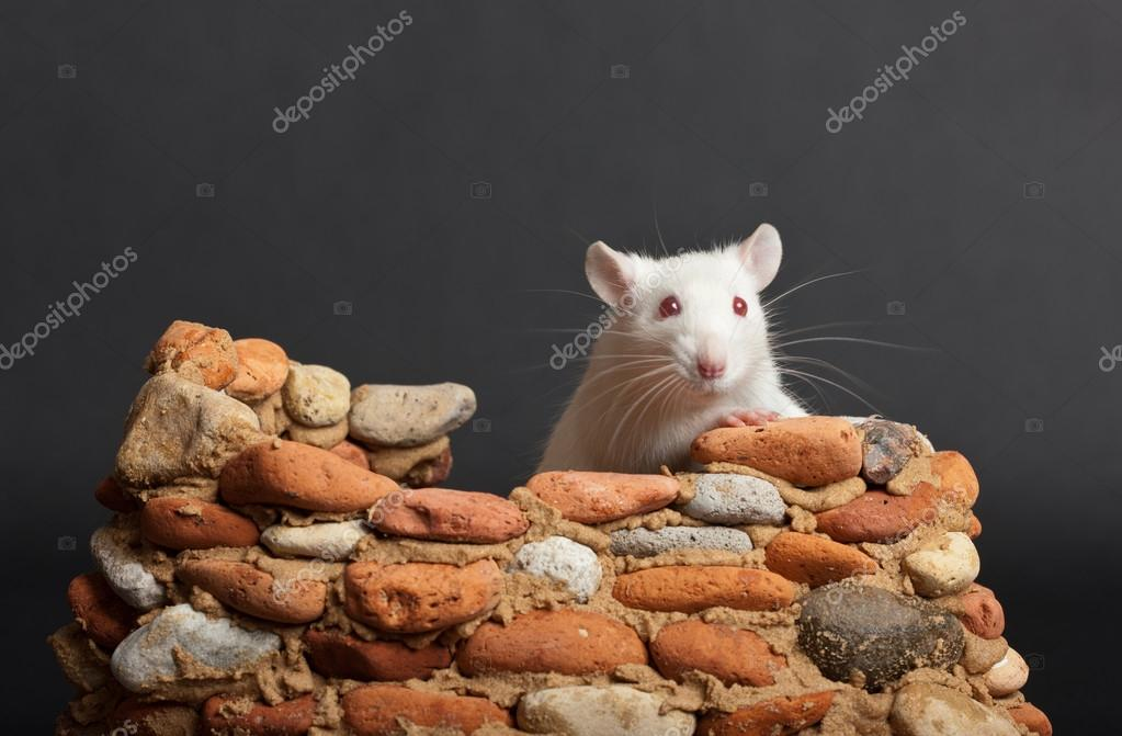 White rat in a small stone fortress — Stock Photo #12628205
