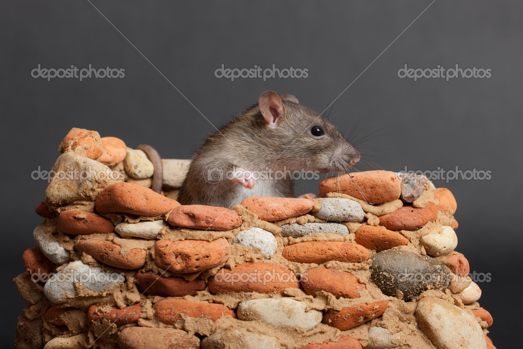 Domestic rat in a small stone fortress — Stock Photo #12628207