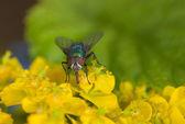 Fly on an euphorbia — Stock Photo
