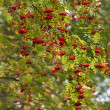 Branches of a ripe mountain ash — Stock Photo