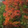 Red maple — Stock Photo