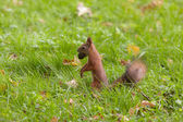 Squirrel with a big nut — Stock Photo