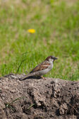 The sparrow sits on the ground — Stock Photo
