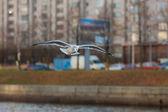 Gaviota en vuelo — Foto de Stock