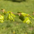 Young foliage of a linden — Stock Photo #13802887