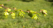 Young foliage of a linden — Stock Photo