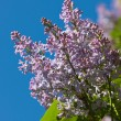 Lilac against the sky — Stock Photo