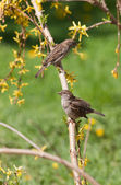 Sparrows in spring — Stock Photo