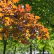 Foliage of a maple — Stock Photo