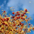 Rowan against the sky - Stock Photo