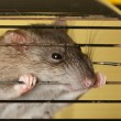 Stock Photo: Rat gnawing cage
