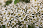 Spirea close up — Stock Photo