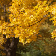 Stock Photo: Branch with golden maple leaves