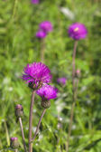 Thistle blooming — Stock Photo