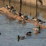 Flock of ducks — Stock Photo