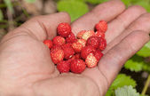 A handful of ripe strawberries — Stock Photo