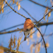 Stock Photo: Bullfinch