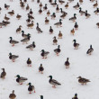 Large flock of ducks — Stock Photo