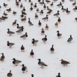 Large flock of ducks — Stock Photo #22225905