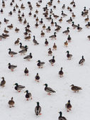Large flock of ducks — 图库照片