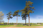 Pine trees in the park — Stock Photo