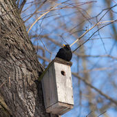 Blackbird on a birdhouse — Stock Photo