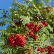 Autumn rowan — Stock Photo