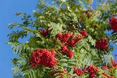 Autumn rowan — ストック写真