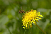 Bumble bee on a dandelion — Stock Photo