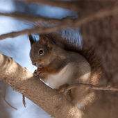 Portrait of a squirrel on a tree — Stock Photo