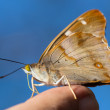 Stock Photo: Butterfly on humfinger
