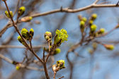 Green maple buds close up — Stock Photo
