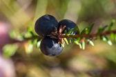 Crowberry closeup — Stock Photo