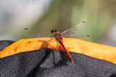 Dragonfly sitting on a backpack — Stock Photo