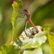 Two dragonflies — Stock Photo #31140745