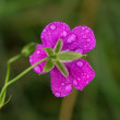 Geranium flower — Stock Photo