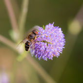 Hoverfly on a flower — Stock Photo