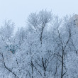 Winter trees in frost — Stock Photo