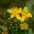 St. John's wort after a rain — Stock Photo